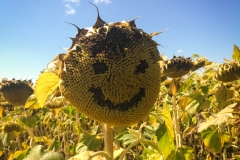 Everyone is friendly and smiling, even the sunflowers